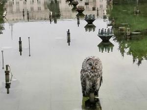 Сову из фонтана в центре Челябинска экологи отпустят в лес вечером