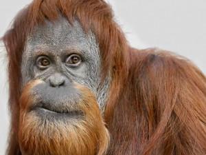 Самые волосатые самцы имеют самые маленькие тестикулы