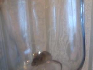 Армия мышей «атаковала» жилой дом в Сатке