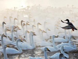 Лебединое озеро покоряет Сеть