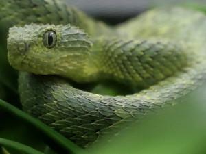 «Скрытой эпидемией» назвали в ВОЗ смертность от укусов змей