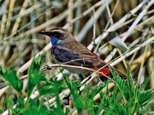Птицы Южного Урала. Варакушка