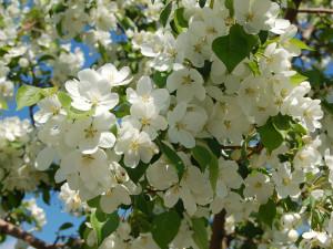 Яблоневый цвет наполняет Челябинск