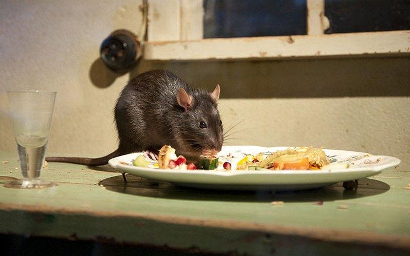 В брянском кафе заметили крысу