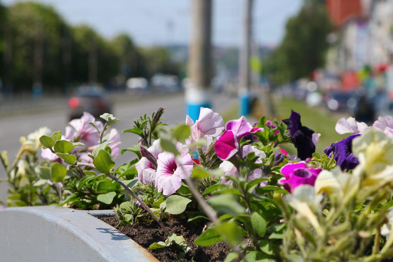 Улицы Брянска украсят 250 тысяч цветов