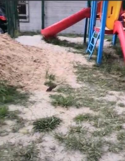 О крысах на детской площадке рассказали жители Брянска