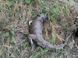 Живого крокодила обнаружили возле школы в Симферополе
