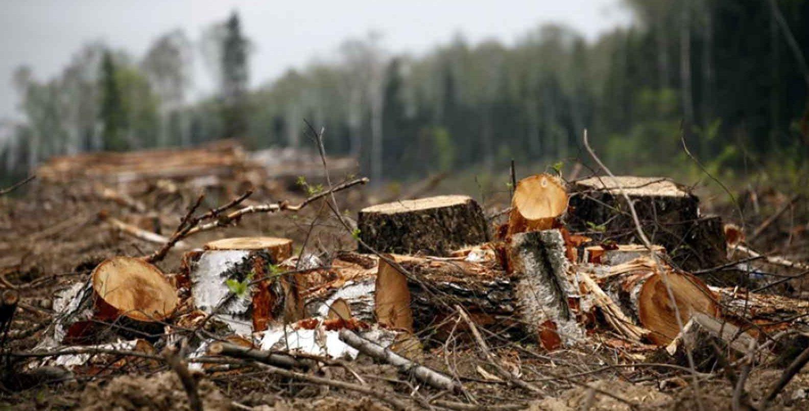 Брянский лесничий вырубил лес на2 миллиона рублей