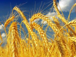 Богатый урожай пшеницы в России Bloomberg объяснил везением