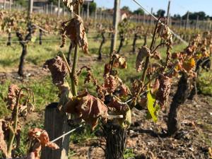 Французские виноградники гибнут от жары и града