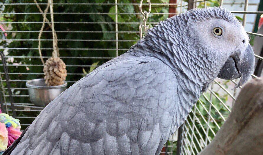 В Новозыбкове ищут пропавшего экзотического попугая