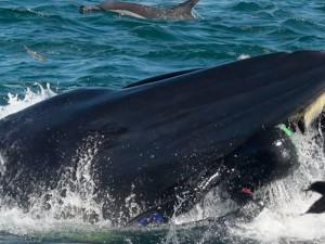 Как в страшной сказке: кит проглотил дайвера, а потом передумал и выплюнул в океан