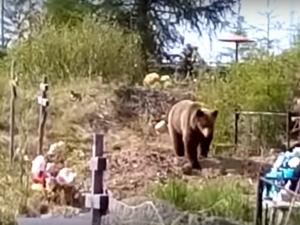 Голодный медведь украл покойника из могилы