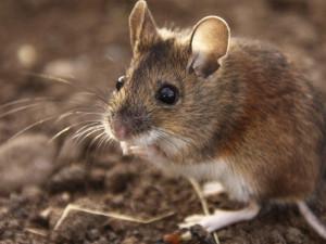 Как шли по планете древние всеядные мыши «рассказали» их зубы