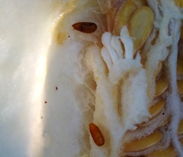 Брянцы купили дыню с личинками