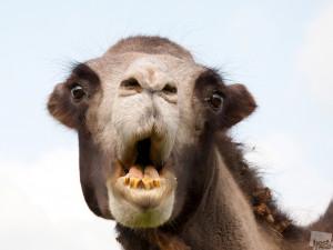 Американка укусила верблюда за тестикулы в зоопарке Луизианы