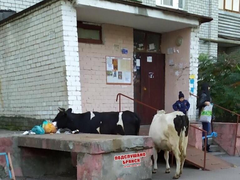 Коровы продолжают «убирать» мусор в Брянске