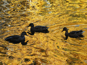 Утки плавали по «золотой» воде: краски челябинской осени