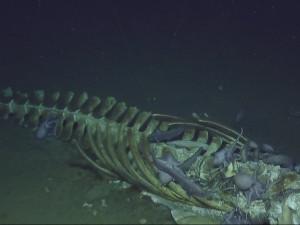 Редкое видео пиршества обитателей тьмы сняли в океанских глубинах (видео)