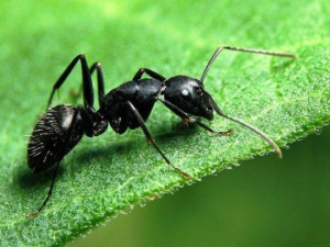 Чем удивляют в Сети и в лесу муравьи? Огромной скоростью и силой, успехами в «сельском хозяйстве» и защитой от клещей