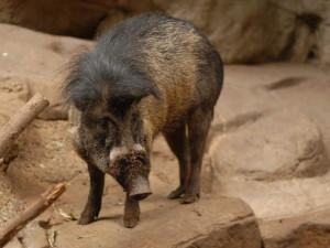 Впервые в истории свинью, использующую инструменты, сняли на видео (видео)