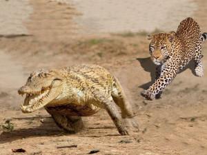 Схватка леопарда с крокодилом попала на видео (видео)