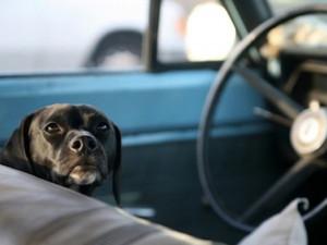 «Дайте собаке права!»: лабрадор около часа водил машину без людей (видео)