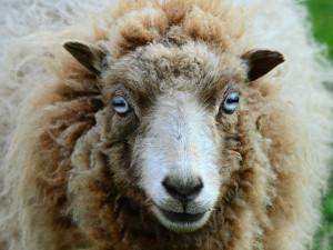 Полицейские-язычники расследуют «сатанинские убийства» овец в Великобритании
