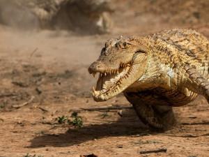 Крокодилы умеют скакать галопом. И очень быстро (видео)