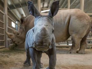 Рождественским чудом назвали рождение редчайшего черного носорога (видео)