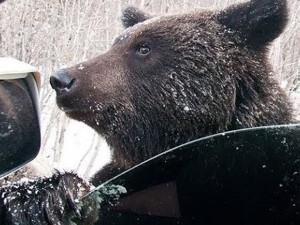Медведь вскрывает автомашины на стоянке аэропорта