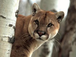 Пять горных львов вместе попали на видеокамеру наблюдения (видео)