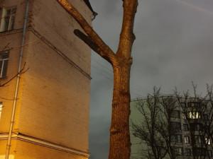 Дерево у «дома Высоцкого» на Большом Каретном