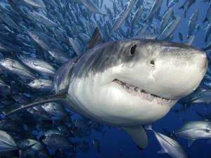 Нечто сожрало трехметровую акулу. И это не хладнокровное животное