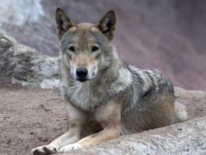 В Пермском крае волки перехитрили охотников