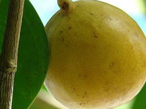 «Деревом смерти» называют по-испански манцинеллу
