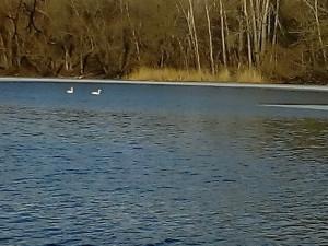 Белые лебеди плавали на реке Миасс в городе Челябинске