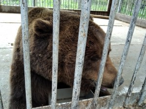 Медведю из Челябинской области ищут новый дом