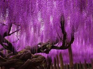 Самое красивое в мире дерево растет в Японии