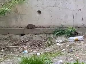 «Крысы атакуют!». Челябинцы сняли на видео полчище грызунов