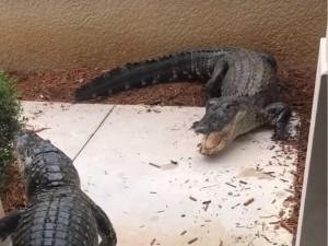 Аллигаторы устроили драку у входа в дом и попали на видео (видео)
