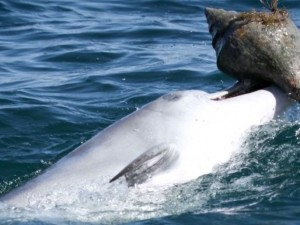 Дельфины умеют использовать инструменты и учат этому друг друга (видео)