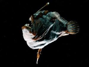 Секс у глубоководных рыб больше напоминает пересадку органов