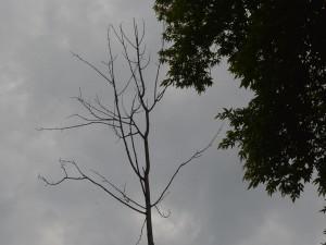 Деревья к осени считают, как и цыплят