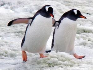 Родина пингвинов оказалась не в Антарктиде