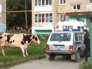 Коровы напали на полицейского и держали в страхе целый двор в Верхнем Уфалее