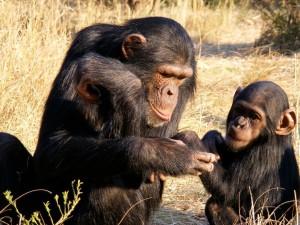 Что сделало нас людьми, выявили наблюдения за шимпанзе (видео)