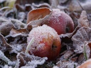 Заморозки ударят в ближайшие дни