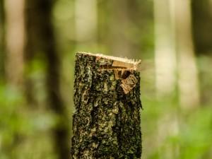 Кто незаконно вырубил десятки деревьев  в челябинском лесу?