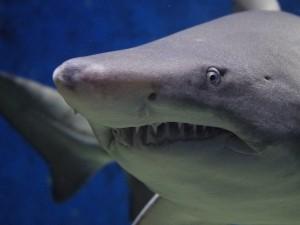 Из пасти акулы спасла мужа его беременная жена